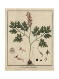 Fumewort, Corydalis Solida Giclee Print by F. Guimpel