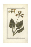 Cowslip, Primula Veris Officinalis Giclee Print by B. Thanner