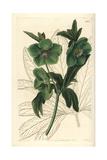 Fragrant or Sweet Hellebore, Helleborus Odorus Giclee Print by Sarah Drake