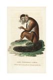 Aye-Aye, Daubentonia Madagascariensis Giclee Print by George Edwards