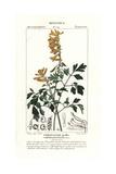 Yellow Corydalis, Pseudofumaria Lutea Giclee Print by Pierre Turpin