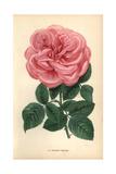 Eugenie Verdier Rose, Pink Hybrid Giclee Print by Francois Grobon