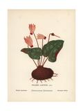 Persian Cyclamen, Cyclamen Persicum Mill Giclee Print by Hannah Zeller