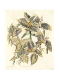Eyed Stanhopea Orchid, Stanhopea Oculata Giclee Print by Sarah Drake