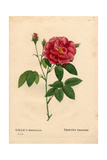 Apothecary's Rose, Rosa Gallica Var Officinalis Giclee Print by Pierre-Joseph Redouté