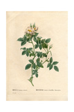 Shiny Leaved Dog Rose, Rosa Canina Variety Giclee Print by Pierre-Joseph Redouté