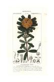 Heart-Leaved Poison, Gastrolobium Bilobum Giclee Print by Pierre Turpin
