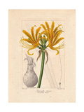 Golden Flame Lily, Pyrolirion Aureum, Native to Peru and Chile Giclee Print by Pancrace Bessa