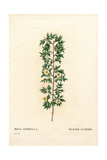 Cuspidate Rose, Rosa Canina Variety Giclee Print by Pierre-Joseph Redouté