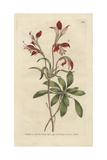 St Martin's Flower, Alstroemer Ligtu Giclee Print by James Sowerby