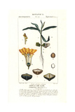 Yellow Oleander or Lucky Nut, Thevetia Peruviana Giclee Print by Pierre Turpin