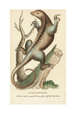 Silky Anteater, Cyclopes Didactylus Giclee Print by George Edwards