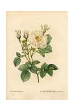 Leafy White Rose of Fleury, Rosa Alba Variety Giclée-Druck von Pierre-Joseph Redouté
