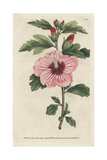 Syrian Hibiscus, Hibiscus Syriacus Giclee Print by James Sowerby