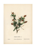 Thorny Burnet, Sarcopoterium Spinosum Giclee Print by Hannah Zeller