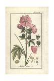 Hollyhock Mallow, Malva Alcea Giclee Print
