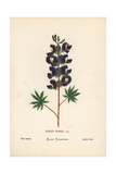 Blue Lupin, Lupinus Pilosus Giclee Print by Hannah Zeller