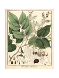 Copal or Copaiba Tree, Copaifera Jacquinii Giclee Print by F. Guimpel