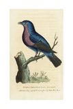 Purple-Breasted Continga, Cotinga Cotinga Giclee Print by George Edwards