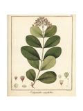 Wild Black Plum, Syzygium Caryophyllatum Endangered Giclee Print by F. Guimpel