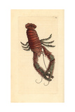 Squat Lobster, Galathea Strigosa Giclee Print by Frederick Nodder