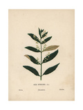Olive Tree, Olea Europaea, Showing Flowers and Leaves Giclee Print by Hannah Zeller