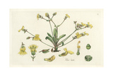 Lyrate-Leaved Velleia, Velleia Lyrata Giclee Print by William Jackson Hooker