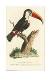 White Throated Toucan, Ramphastos Tucanos Giclee Print by George Edwards