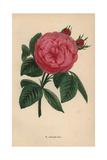 Madame Boll Rose, Hybrid Giclee Print by Francois Grobon