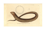 European Legless Lizard, Pseudopus Apodus Giclee Print by Richard Nodder