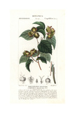American Hazelnut, Corylus Americana Giclee Print by Pierre Turpin