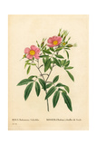 Willow-Leaved Marsh Rose, Rosa Palustris Giclee Print by Pierre-Joseph Redouté