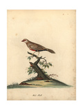 Common Waxbill, Estrilda Astrild Giclee Print by William Hayes