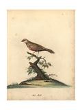 Common Waxbill, Estrilda Astrild Giclee Print by William Hayes