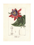 Winged-Stem Passion Flower, Passiflora Alata Giclee Print by Pancrace Bessa