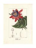 Winged-Stem Passion Flower, Passiflora Alata Giclee-vedos tekijänä Pancrace Bessa