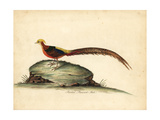 Golden or Chinese Pheasant, Chrysolophus Pictus, Male Giclee Print by William Hayes