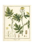 White Mustard, Sinapis Alba Giclee Print by F. Guimpel