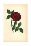 Monsieur Boncenne Rose, Hybrid Giclee Print by Francois Grobon