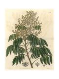 Longan Tree, Dimocarpus Longan Giclee Print by Sarah Drake