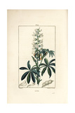 White Lupin, Lupinus Sativus Giclee Print by Pierre Turpin