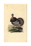 Wild Turkey, Meleagris Gallopavo Giclee Print by Edward Donovan