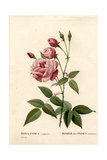 Old Blush Rose, Rosa Chinensis Giclee Print by Pierre-Joseph Redouté