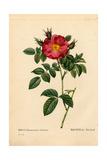 Duchess of Portland Rose, Rosa Portlandica Reproduction procédé giclée par Pierre-Joseph Redouté