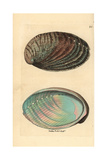 Green Ormer Sea Snail or Abalone, Haliotis Tuberculata Giclee Print by Richard Nodder