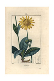 Mountain Arnica, Arnica Montana Giclee Print by Pierre Turpin