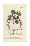 Black Poplar Tree, Populus Nigra Giclee Print