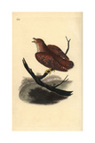 Common Cuckoo (Juvenile), Cuculus Canorus Giclee Print by Edward Donovan