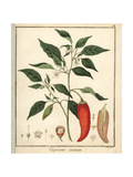 Bell, Sweet, or Chili Pepper, Capsicum Annuum Giclee Print by F. Guimpel