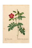 Pendant Fruited Alpine Rose, Rosa Pendulina Giclee Print by Pierre Joseph Redoute